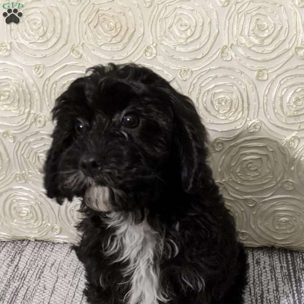 Ebony, Cavapoo Puppy