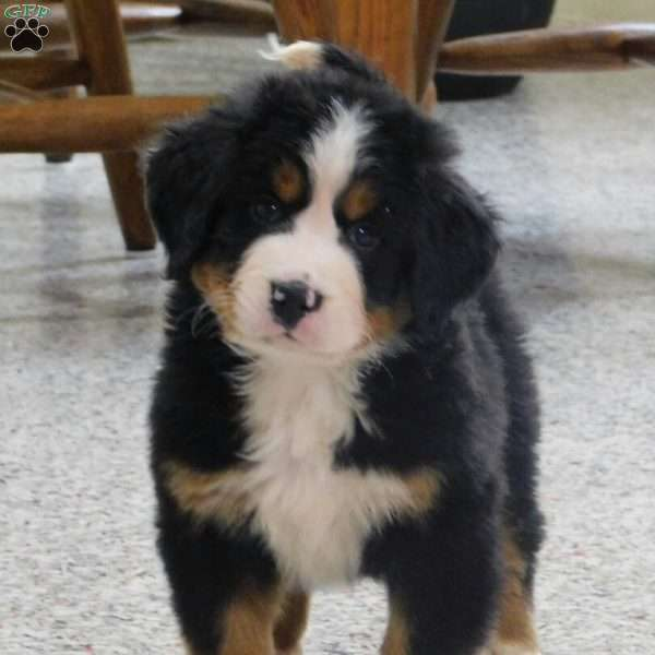 Lincoln, Bernese Mountain Dog Puppy