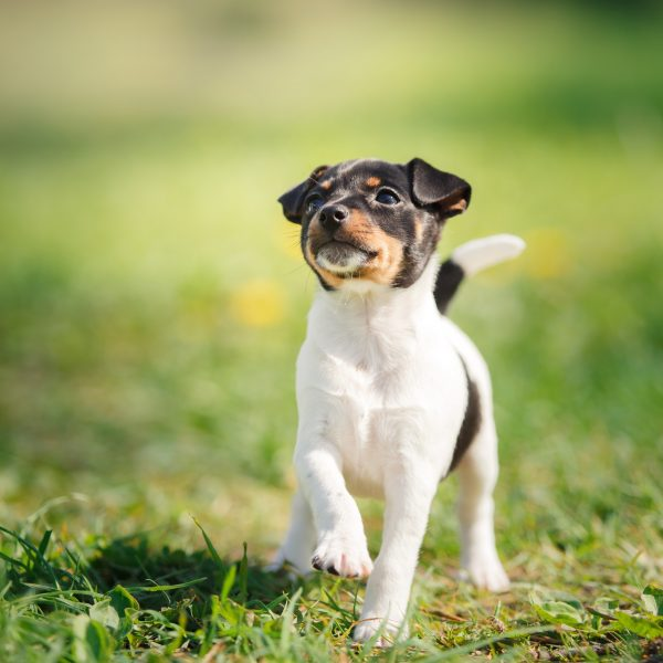 toy fox terrier puppy standing in grass