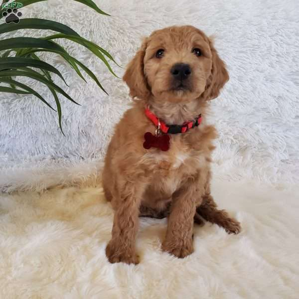 Brody-F2, Goldendoodle Puppy