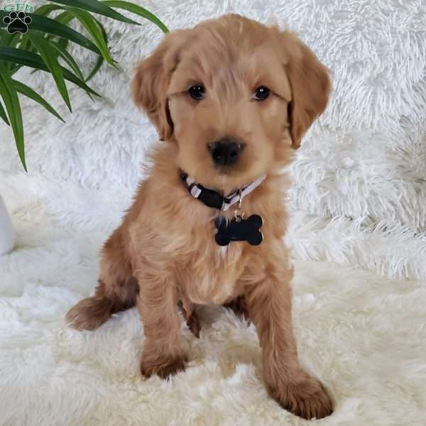 Rocky-F2, Goldendoodle Puppy