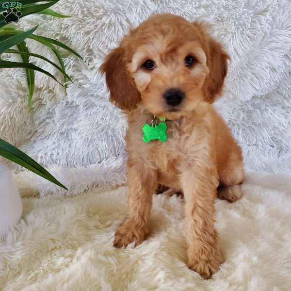Chloe-F2, Goldendoodle Puppy