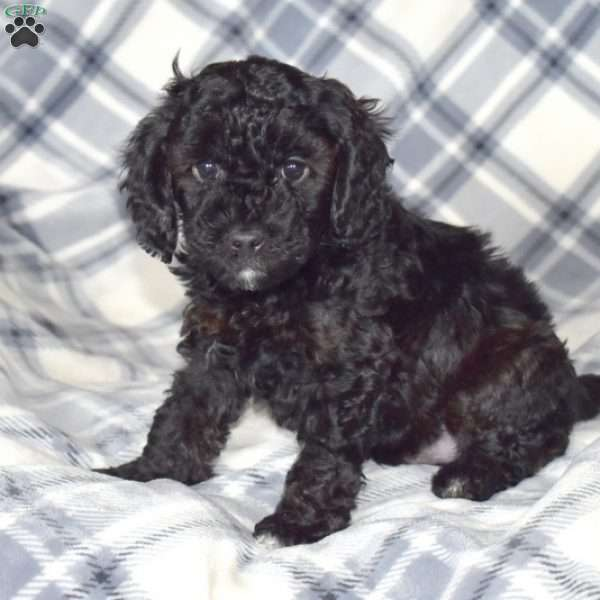 Ace, Toy Poodle Puppy