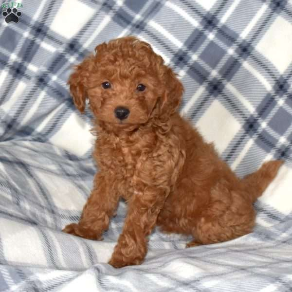 Angel, Toy Poodle Puppy