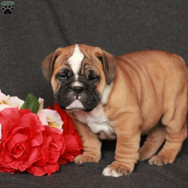 Antonio, English Bulldog Puppy