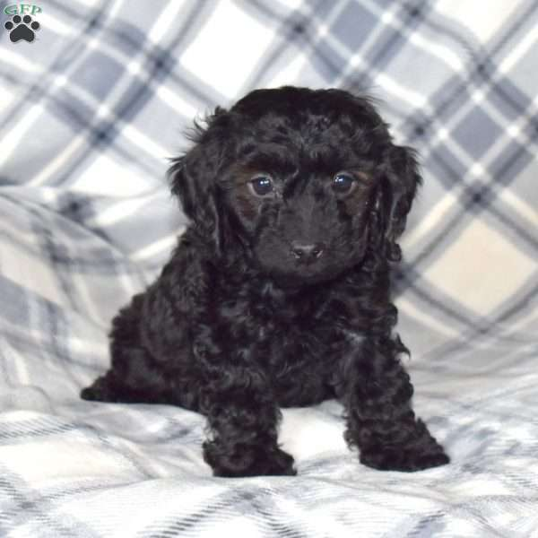 Axel, Toy Poodle Puppy