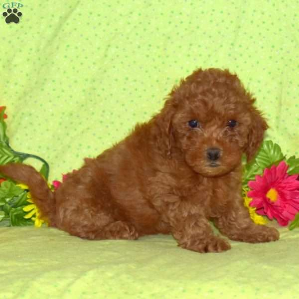 Bear, Toy Poodle Puppy