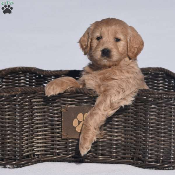 Believe, Mini Goldendoodle Puppy