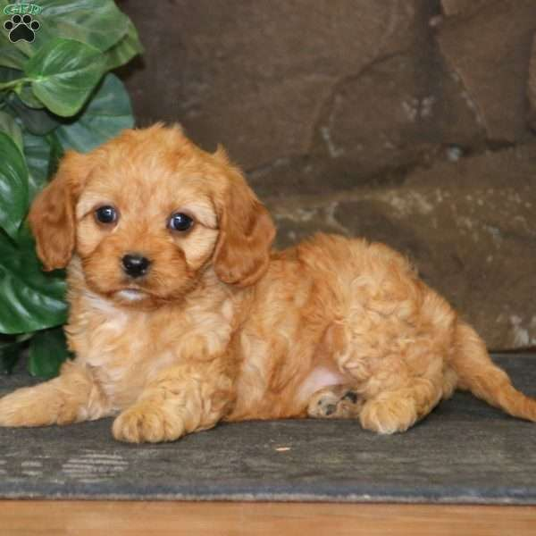 Belle, Cavapoo Puppy