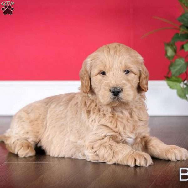 Benny, Mini Goldendoodle Puppy