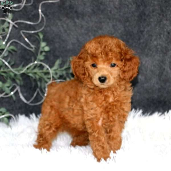 Betsy, Miniature Poodle Puppy