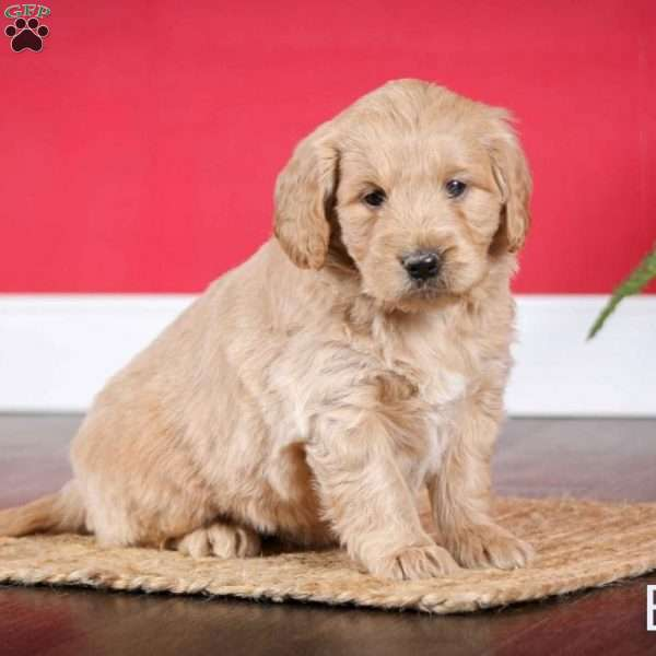 Betzy, Mini Goldendoodle Puppy