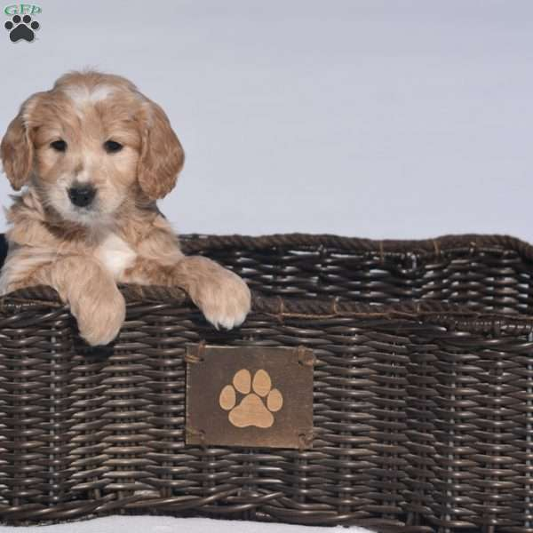 Blessed, Mini Goldendoodle Puppy