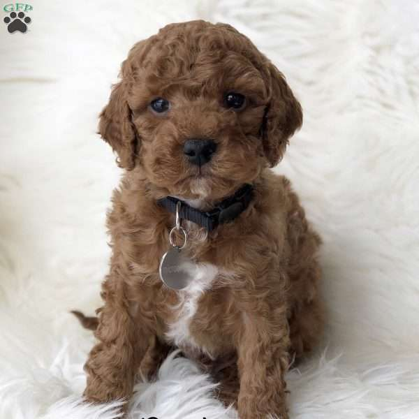Brady-F1b, Mini Goldendoodle Puppy