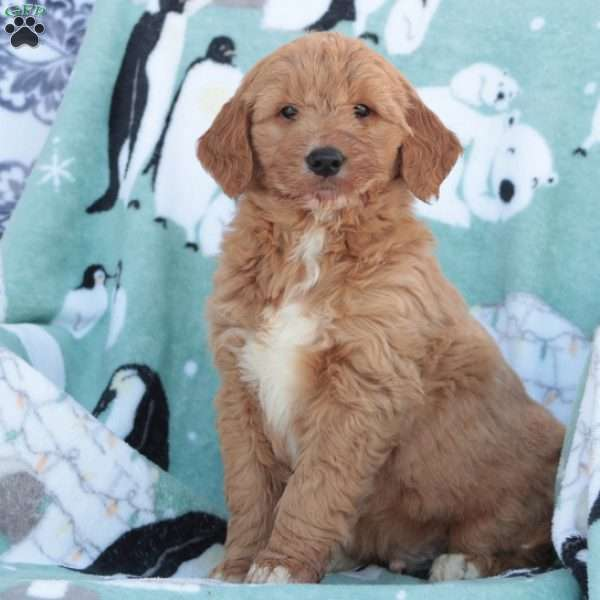 Brownie, Goldendoodle Puppy