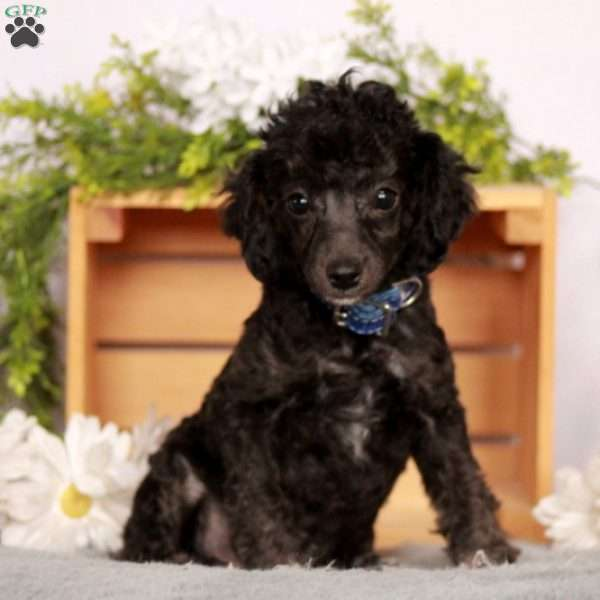 Bruxy, Miniature Poodle Puppy