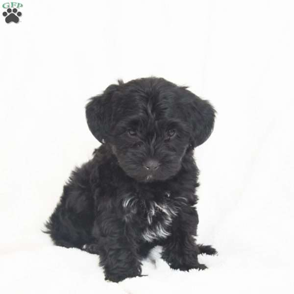 Bruzer, Toy Poodle Mix Puppy
