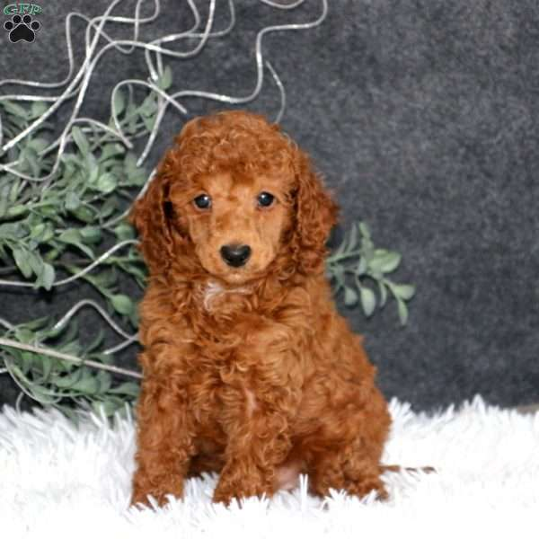 Bryce, Miniature Poodle Puppy
