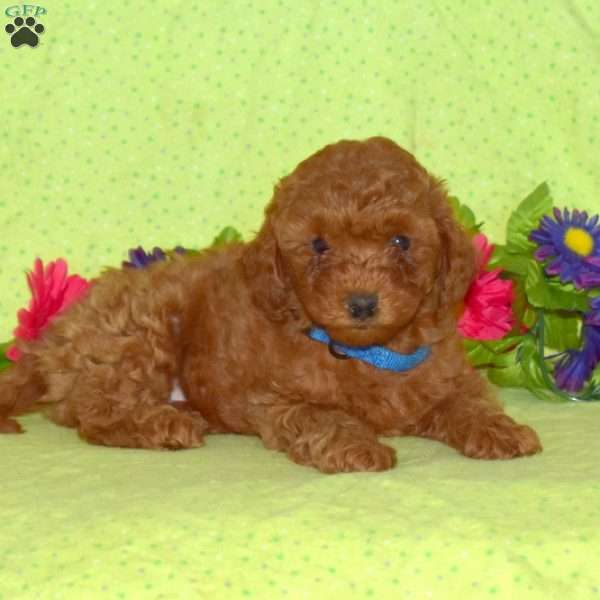 Bryson, Toy Poodle Puppy