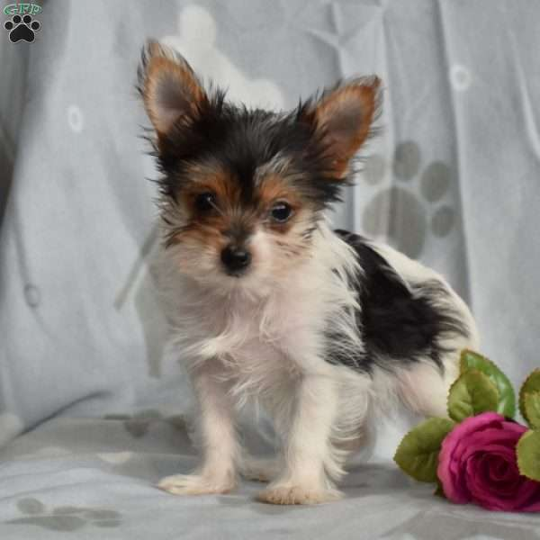 Bubbles-Teacup, Yorkshire Terrier Puppy