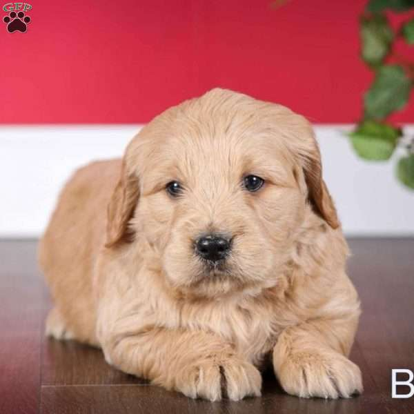 Buddy, Mini Goldendoodle Puppy