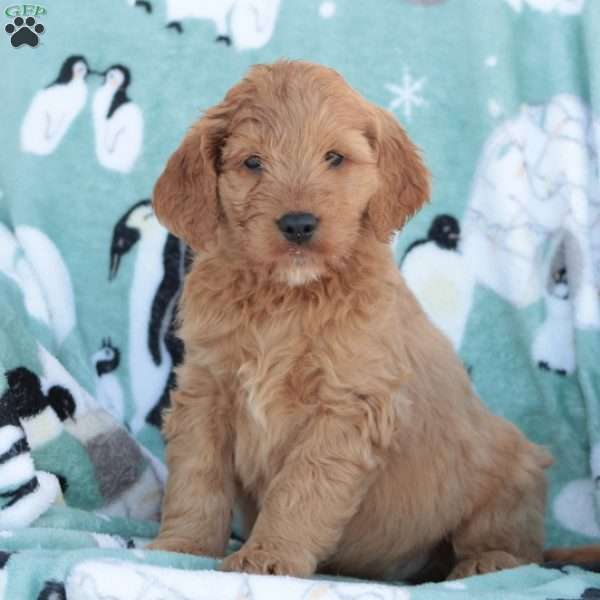 Buddy, Goldendoodle Puppy