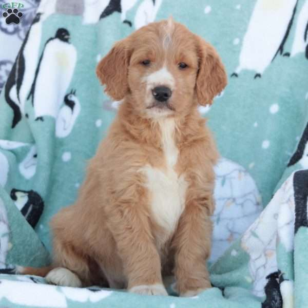 Bunny, Goldendoodle Puppy