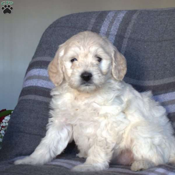Candy, Mini Goldendoodle Puppy