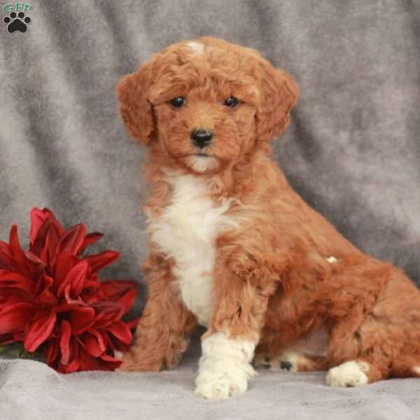 Candy-F1B, Mini Goldendoodle Puppy
