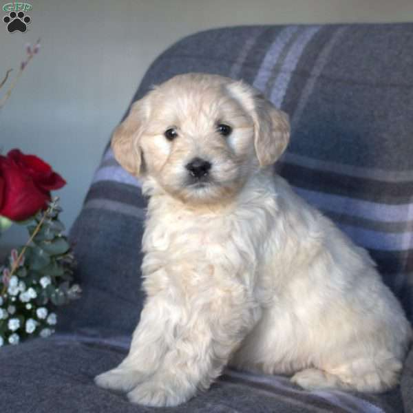 Carly, Mini Goldendoodle Puppy