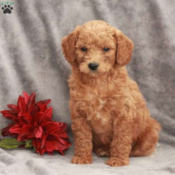 Cash-F1B, Mini Goldendoodle Puppy