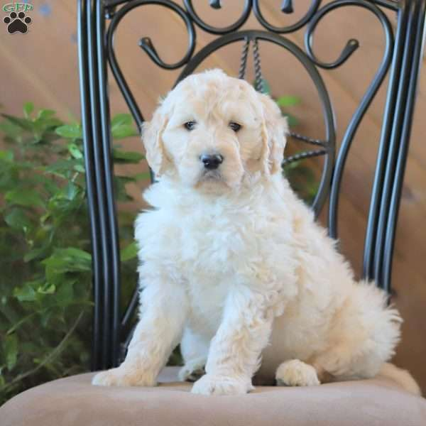 Champ, Goldendoodle Puppy