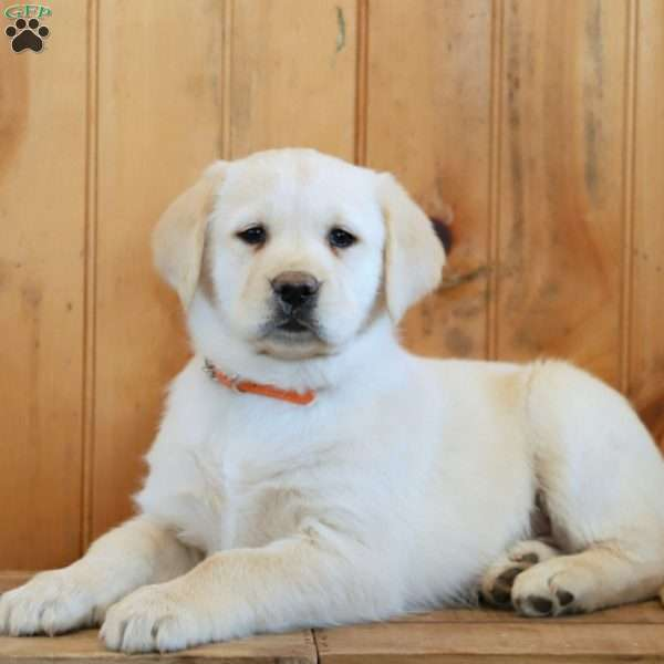 Chanel, Golden Labrador Puppy