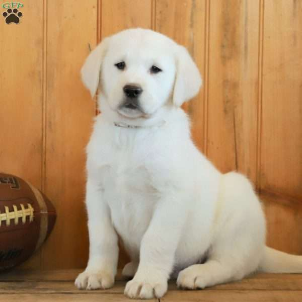 Chase, Golden Labrador Puppy