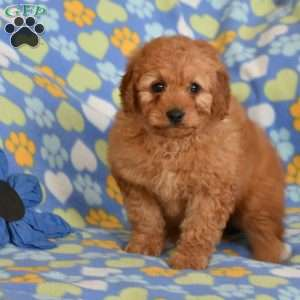 Cheerio, Mini Goldendoodle Puppy