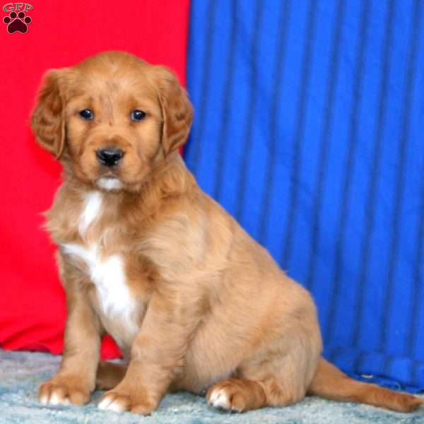Chloe, Goldendoodle Puppy