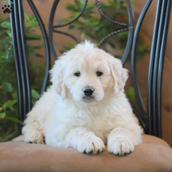 Cody, Goldendoodle Puppy