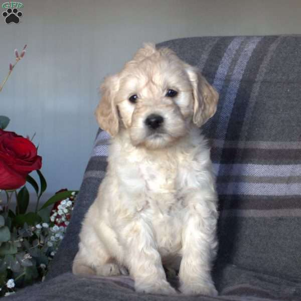 Coffee, Mini Goldendoodle Puppy