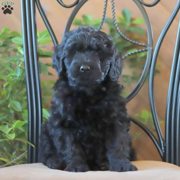 Cole, Goldendoodle Puppy