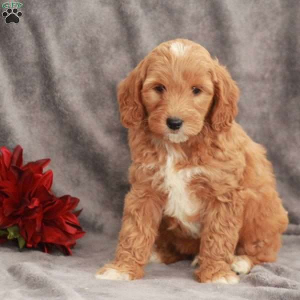 Cory-F1B, Mini Goldendoodle Puppy