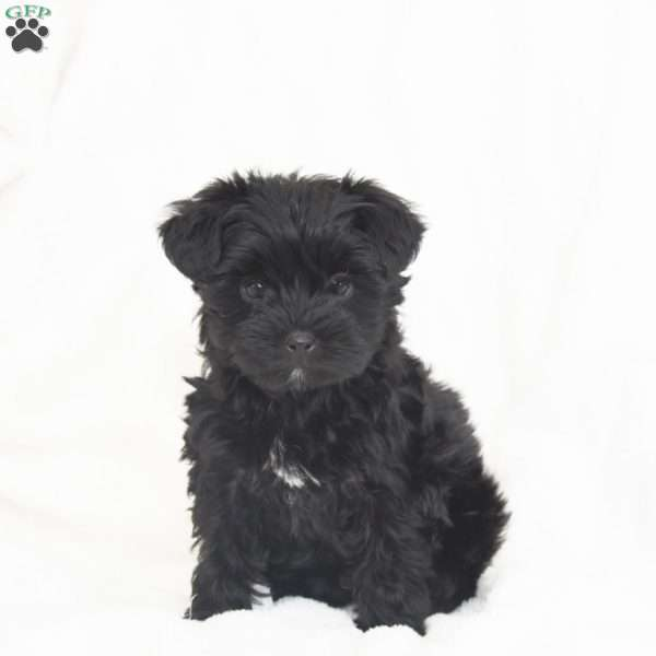 Delight, Toy Poodle Mix Puppy