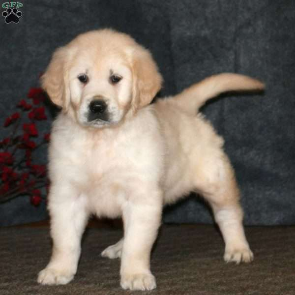 Derek, English Cream Golden Retriever Puppy