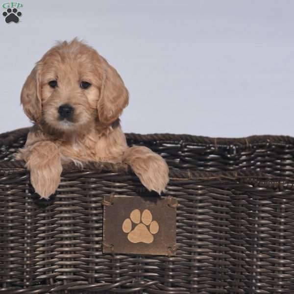 Destiny, Mini Goldendoodle Puppy
