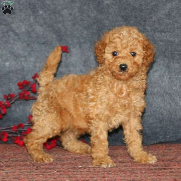 Dusty, Mini Goldendoodle Puppy