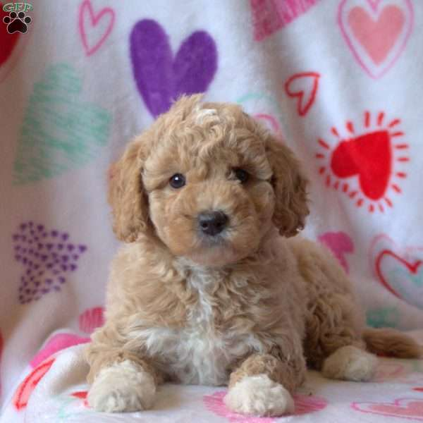Ezzy, Mini Goldendoodle Puppy