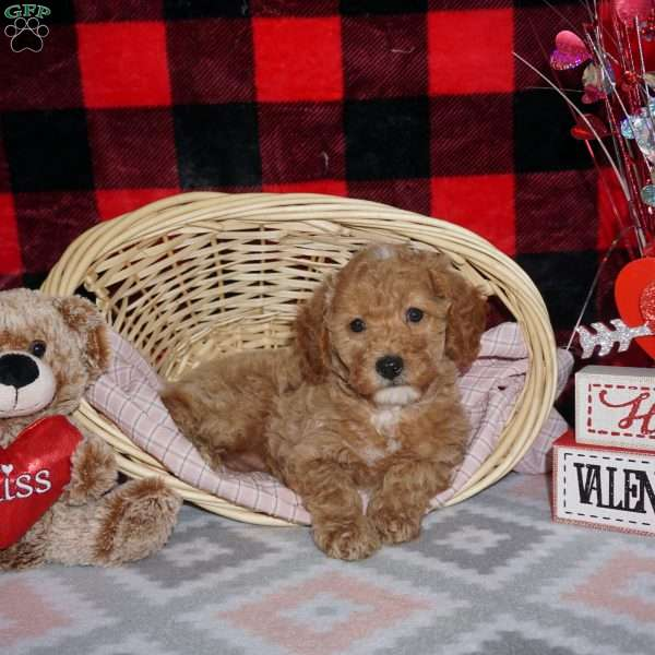 Karissa-F1bb, Mini Goldendoodle Puppy