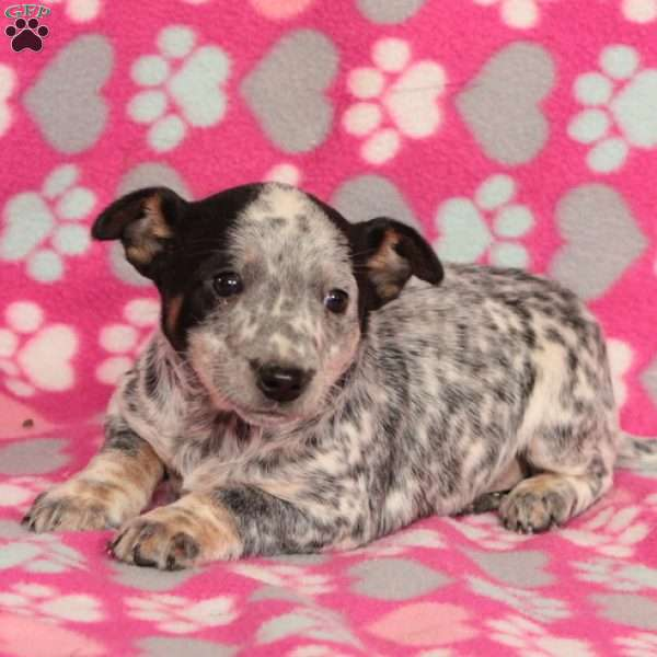 Fifi, Blue Heeler Mix Puppy
