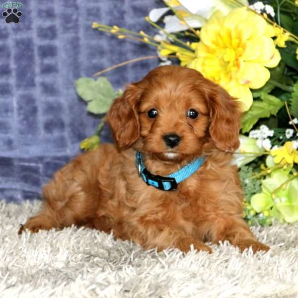 Flicker, Cavapoo Puppy