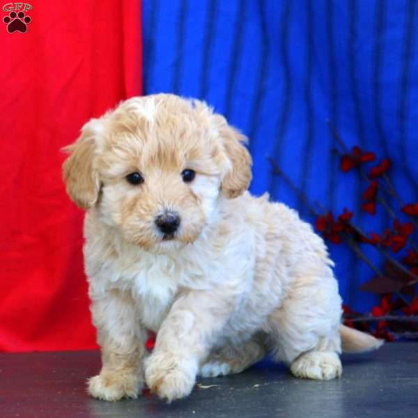 Gavin – F1B, Mini Goldendoodle Puppy