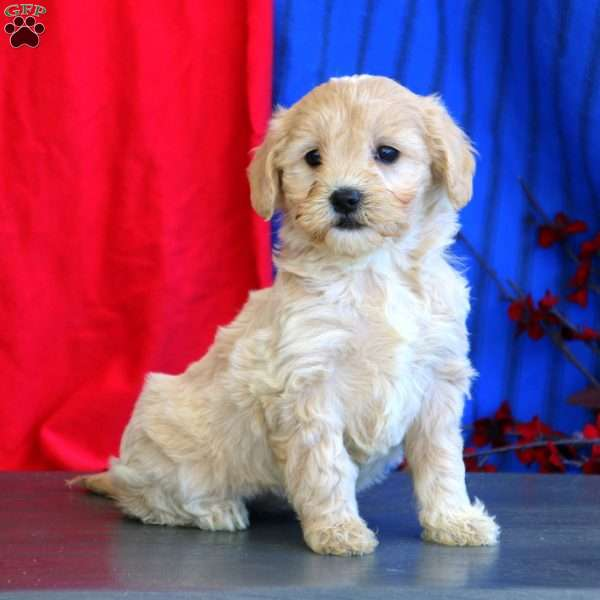 Gracie – F1B, Mini Goldendoodle Puppy